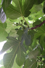 Common fig close up with green leaves, branches, green berries