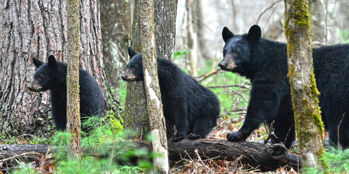 Mom and cubs in Cades Cove, Smokey Mountain National Park, Tennessee