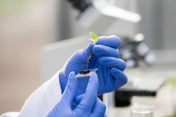 Biologist holding seedling above glass for microscope test