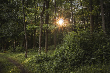 Rays of the sun break through  trees in the forest. Good summer morning in grove_