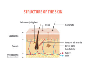 Structure of the skin info graphics illustration vector on white background. Beauty concept.