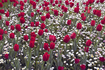 Red color Tulips Bloom in Spring