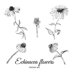 Set with hand drawn graphic  sketch of summer flowers echinacea with leaves and bud. vector illustration