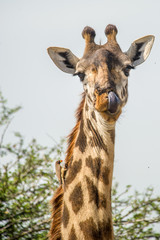 Giraffe with yellow-billed Oxpecker on neck