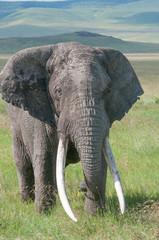 elephant  ngorongoro crater tanzania africa