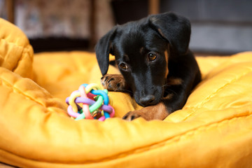 A little dog  playing with a toy