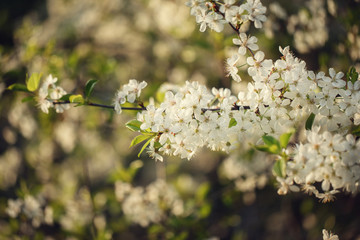 Beautiful crab cherry tree blossoms against a white nature background