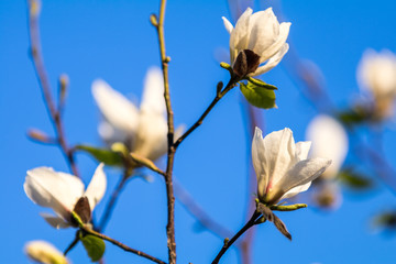 White magnolia blossom in the city street on spring sunny evening