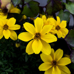 Evening primrose in a garden