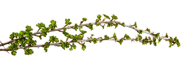 On an isolated white background a branch of a currant bush with young green leaves