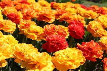 Tulipes, tulipes doubles