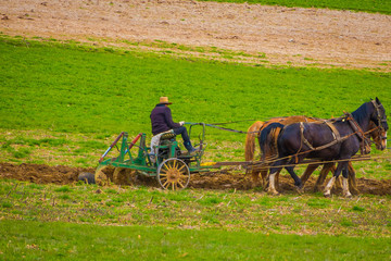 Outdoor view of unidentified amish farmer using horses to hitch antique plow in the field. they produce their own food without technology