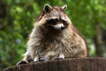Common raccon