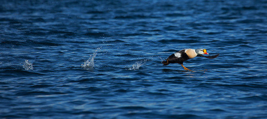 King eider taking flight on the water