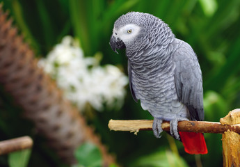 A gray cockatoo bird with a red tail and black beak