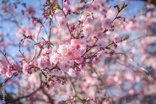 Beautiful oriental cherry flowers blossom in sunny spring day blue beautiful oriental cherry flowers blossom in sunny spring day blue sky background mightylinksfo