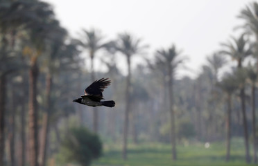 A crow flies over date palm trees at fields on the outskirts of Cairo