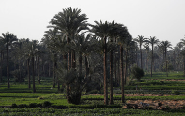 Egyptian farmers work around date palm trees at a farm on the outskirts of Cairo
