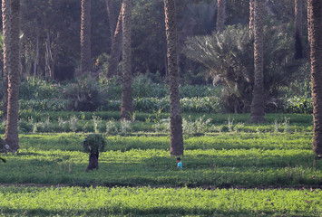 A son of farmer runs around date palm trees at a field on the outskirts of Cairo