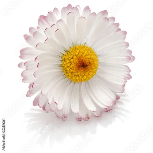 Beautiful single daisy flower isolated on white background