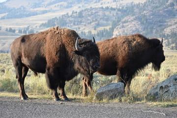 Bison, Yellowstone National Park, Buffalo, Wild Animals, Mammals, Nature, Grasslands, Mating, National Park, Wyoming
