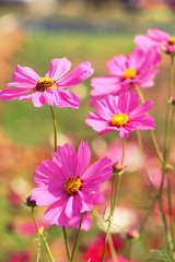 Beautiful cosmos colorful flowers in the garden