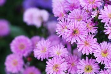 Chrysanthemums flower is beautiful in the garden