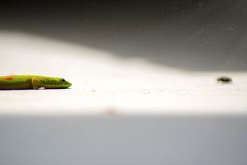 Gecko Hunting for Dinner