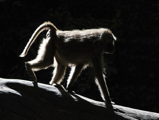 Baboon in Backlight - A baboon walks along a tree branch in strong backlight that highlights its  furry outline. Lake Manyara National Park, Arusha Region, Tanzania, Africa.