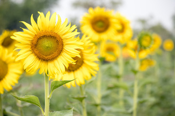 Beautiful yellow sunflower in the farm background
