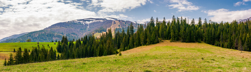 panorama of spruce forest on a hill. lovely springtime landscape with snowy tops of Borzhava mountain ridge in the distance