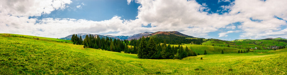 panorama of mountainous landscape in springtime. spruce forest on a grassy hills in the valley of Carpathian mountain. beautiful view of Borzhava mountain ridge with Velykyi verkh peak in the distance