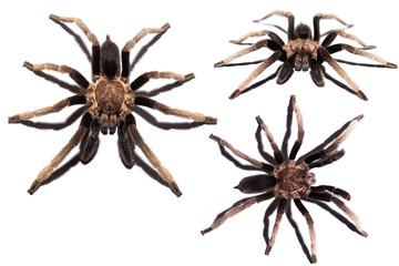 Isolated spider on white background, black curly-hair tarantula Brachypelma albopilosum