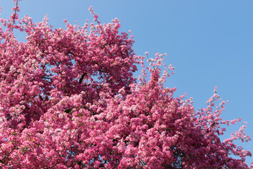 Pink Apple Flower