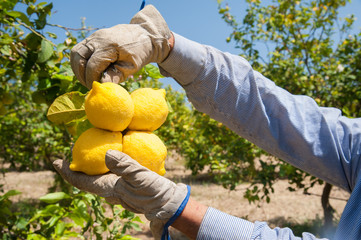 Hand of a farmer picking a lemon during harvest time