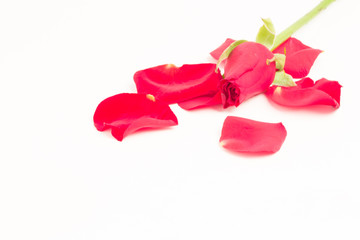 Pink rose with petals