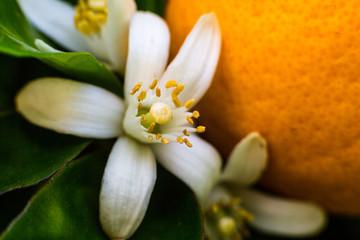 Neroli flowers and bright orange fruit
