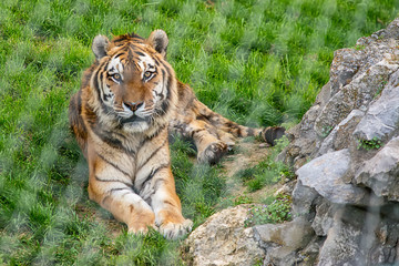 Bengal tiger (Panthera tigris tigris) in Captivity