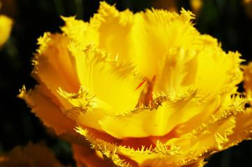 Yellow Terry Tulip