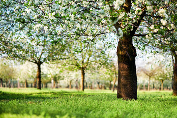 Beautiful cherry trees in blossom, springtime view of blossoming garden.