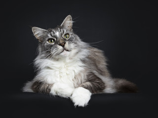 Handsome adult senior Maine Coon cat laying down isolated on black background  and looking a bit up