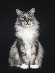Handsome adult senior Maine Coon cat sitting facing front isolated on black background  looking beside camera