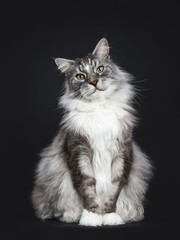 Handsome adult senior Maine Coon cat sitting facing front isolated on black background with tilted head looking straight in lens
