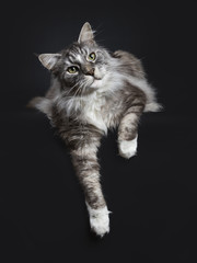 Handsome adult senior Maine Coon cat laying down isolated on black background with paws hanging down over edge and looking to the side
