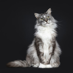 Handsome adult senior Maine Coon cat sitting facing front isolated on black background with beside body and looking to the side
