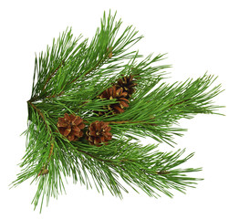 Close up of fir tree branch isolated on white  background without shadow. Pine branch with cones, close-up. Christmas. New Year.