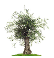 Freisteller Olivenbaum mit Oliven vor weißem Hintergrund  - Olive tree with olives on a white background