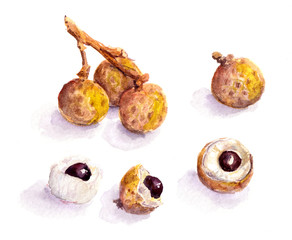 Litchi fruit - watercolor