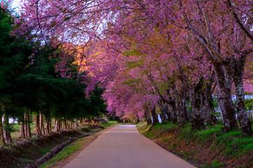 Cherry blossom in Khun Wang ChiangMai, Thailand.