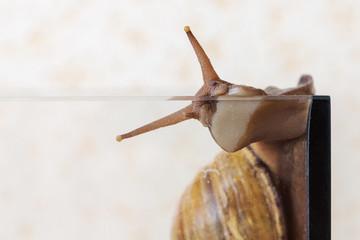 African snail Achatina crawls along the wall of aquarium